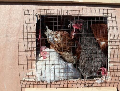 ביטול הרשעה בתיק פלילי שהתחיל כשוד תרנגולות שהובלו לכפרות.